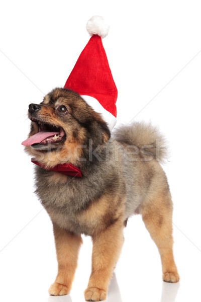 very excited santa pomeranian with bowtie looks up to side Stock photo © feedough
