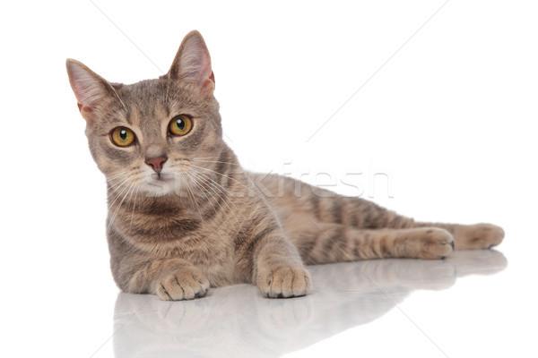 lovely grey cat with yellow eyes lying Stock photo © feedough