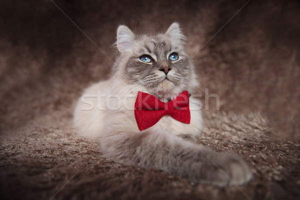cool cat wearing red bowtie looks up Stock photo © feedough