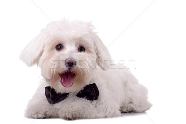 maltese dog Stock photo © feedough