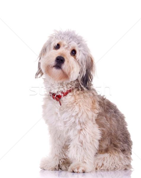 curious bearded collie  Stock photo © feedough