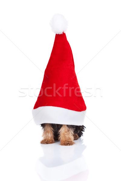 Mikulás kalap játék nagy fehér kutya Stock fotó © feedough