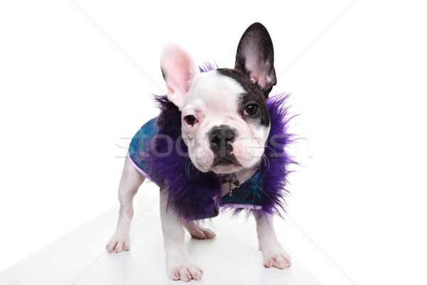Souteneur naar frans bulldog puppy permanente Stockfoto © feedough