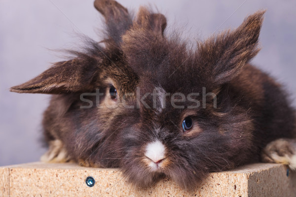Furry lion head rabbit bunnys sitting together Stock photo © feedough