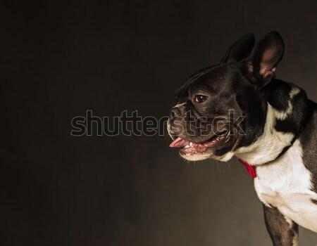 側面図 かわいい フランス語 ブルドッグ 開口部 舌 ストックフォト © feedough