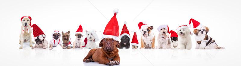 французский дог ведущий Дед Мороз собаки Сток-фото © feedough