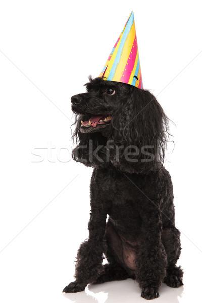 пудель рождения Hat Сток-фото © feedough