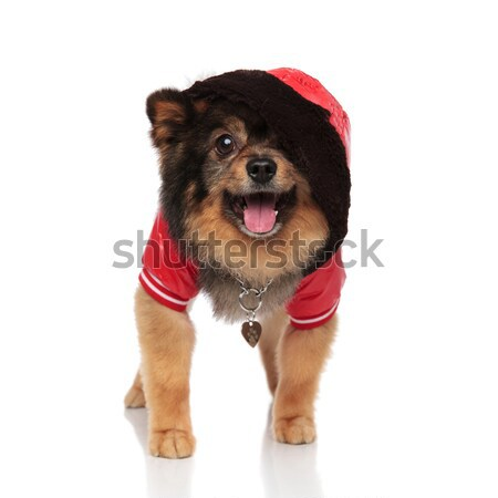excited pom wearing red leather jacket with hood on head Stock photo © feedough