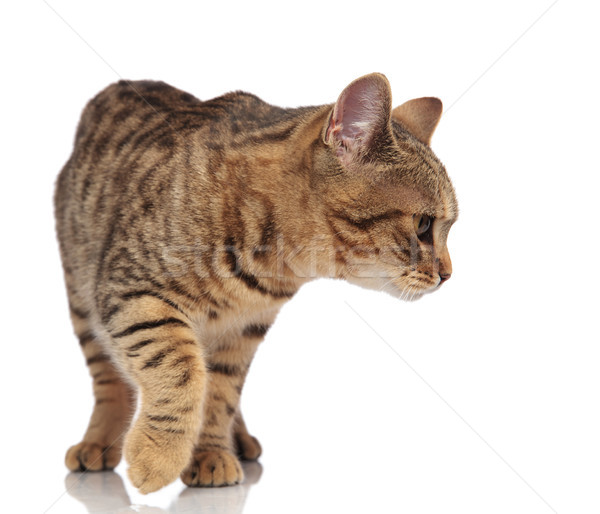 curious british fold cat stepping and looking down to side Stock photo © feedough