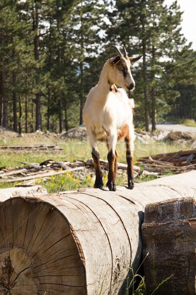 Kecske mező fű áll fa föld Stock fotó © feelphotoart