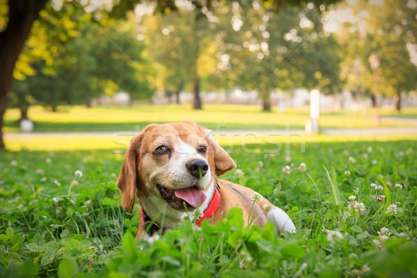Beagle щенков собака трава лет области Сток-фото © feelphotoart