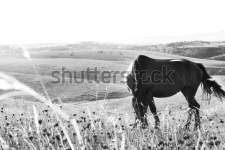 Fekete ló legelő gyönyörű horzsolás tavasz Stock fotó © feelphotoart