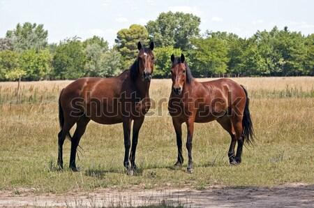 Kettő lovak kép néz kamera fű Stock fotó © FER737NG