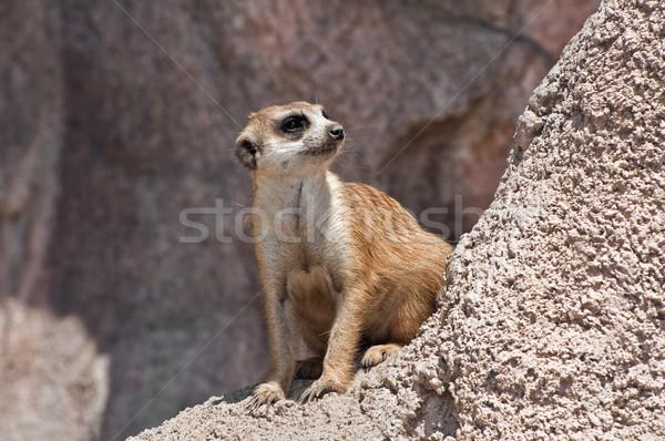 Meerkat. Stock photo © FER737NG