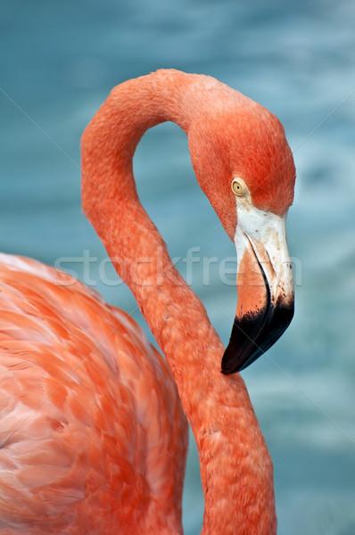Roze flamingo vers afbeelding natuur veer Stockfoto © FER737NG