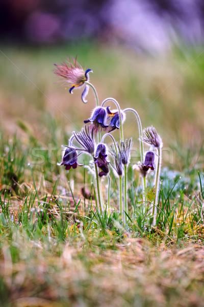 группа Монтана весны луговой Венгрия Сток-фото © Fesus