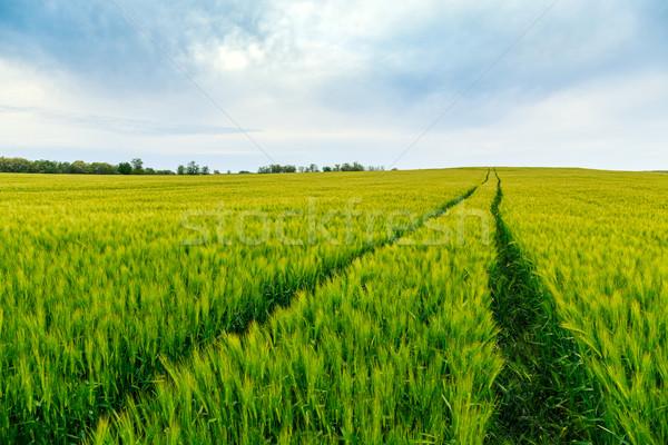 緑 フィールド 小麦 トスカーナ イタリア 草 ストックフォト © Fesus