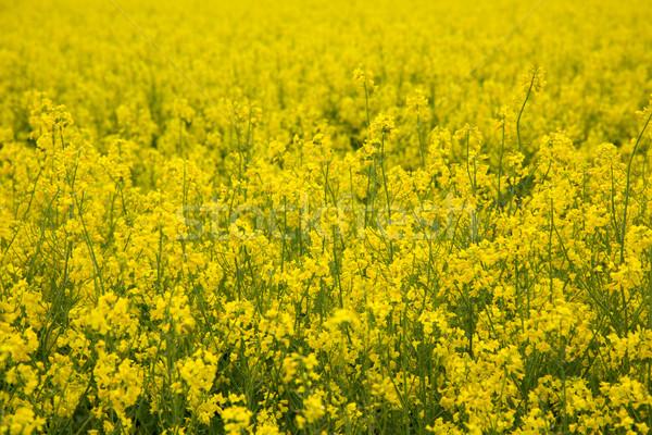 Canola field Stock photo © Fesus