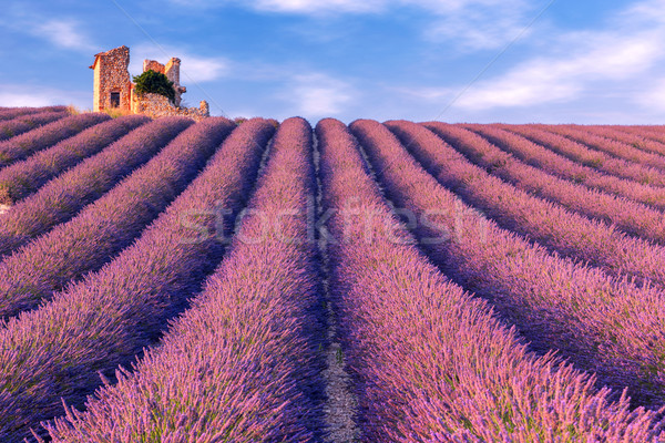 Lavender field summer near Valensole. Stock photo © Fesus