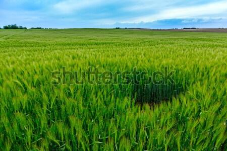 Groene velden tarwe Toscane Italië gras Stockfoto © Fesus