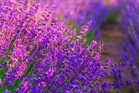 Lavender field in the summer Stock photo © Fesus