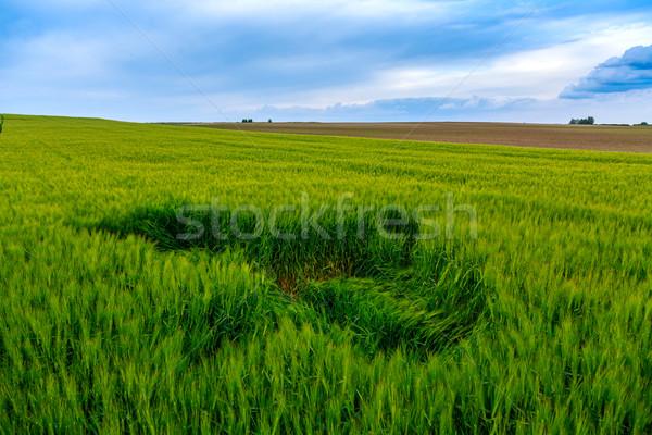 Green fields of wheat Stock photo © Fesus