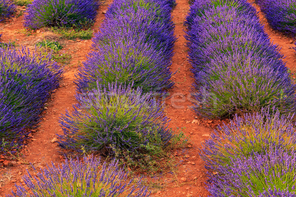 Lavender bushes in long lines Stock photo © Fesus