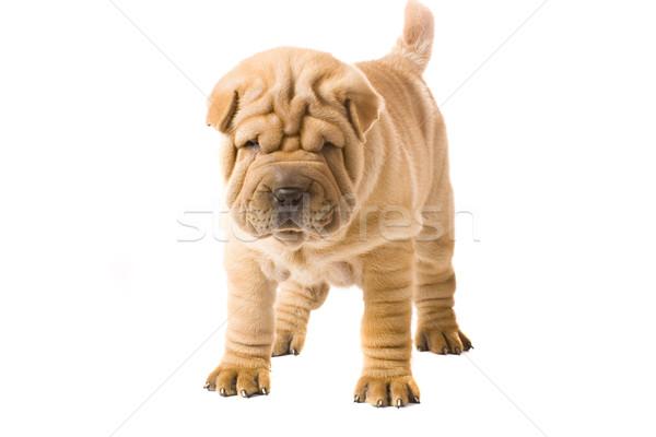 Sharpei cão diversão branco perfil cortar Foto stock © Fesus