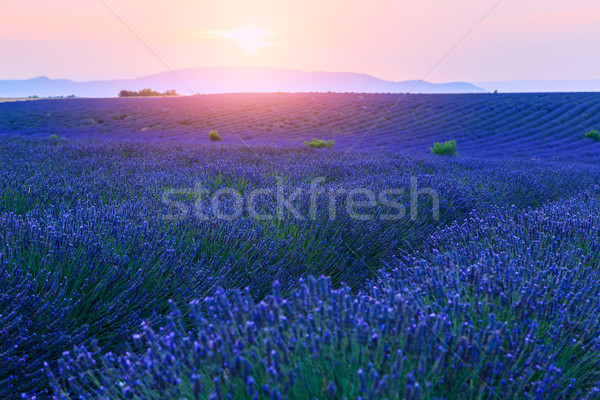 Lavender fields at sunset near Valensole Stock photo © Fesus