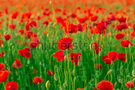 red poppies field Stock photo © Fesus