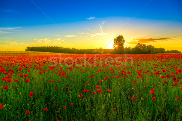Poppies field at sunset Stock photo © Fesus