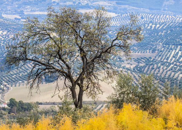 Olive Tree in a rural landscape Stock photo © Fesus