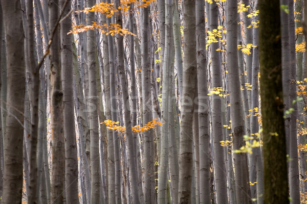 Forest in autumn  Stock photo © Fesus