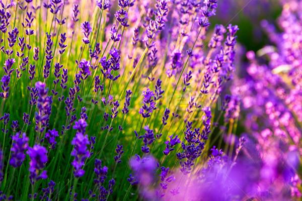 ラベンダー畑 ハンガリー 夏 花 日没 自然 ストックフォト © Fesus