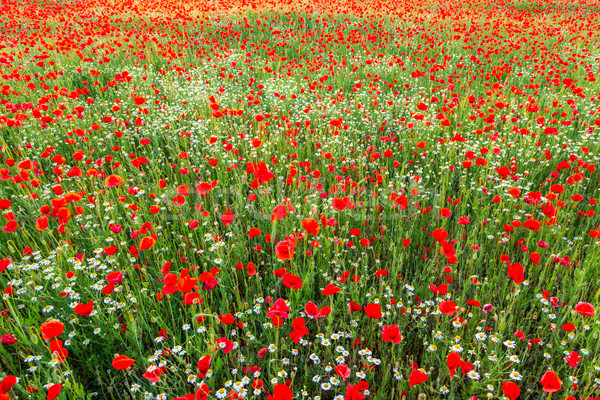 Poppies field meadow in summer Stock photo © Fesus