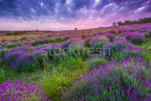 Naplemente nyár levendula mező Magyarország fotó gyártmány Stock fotó © Fesus