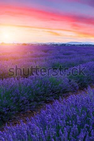 Lavender field summer sunset Stock photo © Fesus