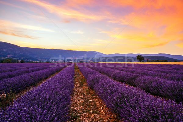 Lavendel veld zomer zonsondergang landschap boom veld Stockfoto © Fesus