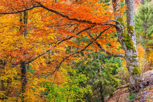 Outono floresta Romênia colorido paisagem montanhas Foto stock © Fesus
