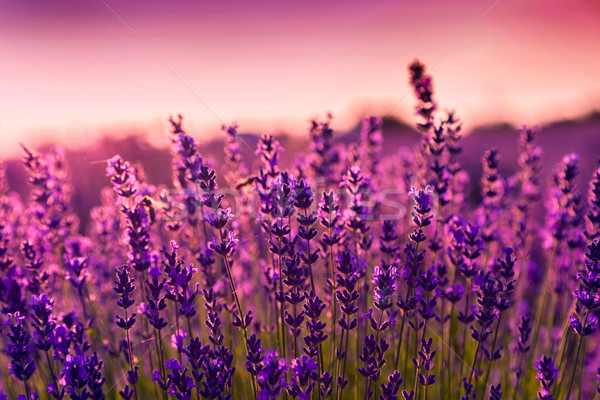 Lavender field in Tihany, Hungary Stock photo © Fesus