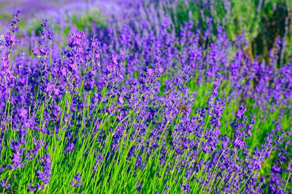 Lavendel veld zomer bloem natuur landschap achtergrond Stockfoto © Fesus