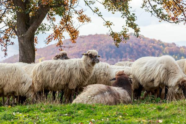 Moutons arbre automne paysage roumain nature Photo stock © Fesus