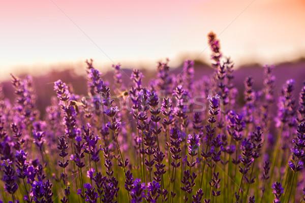 ラベンダー畑 ハンガリー 空 日没 自然 風景 ストックフォト © Fesus