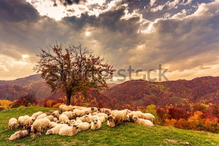 осень пейзаж овец собака дерево румынский Сток-фото © Fesus