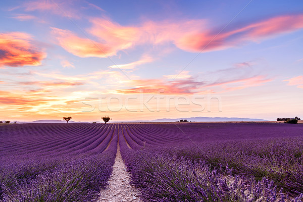 Lavender field summer sunset landscape in Provence Stock photo © Fesus