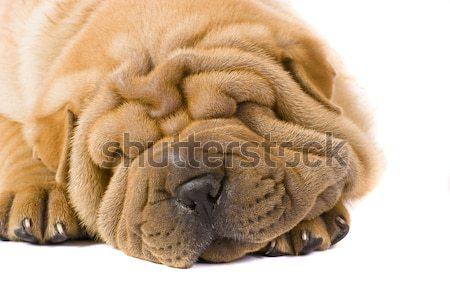 Sharpei kutya jókedv stúdió profil barát Stock fotó © Fesus