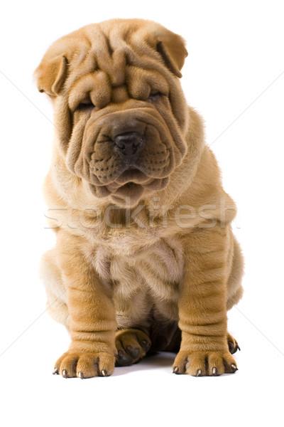 Sharpei köpek arka plan grup eğlence portre Stok fotoğraf © Fesus
