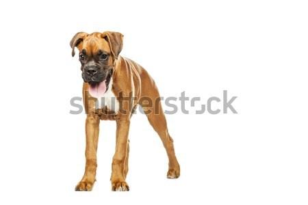 Boxoló kutyakölyök hónap fehér kutya stúdió Stock fotó © Fesus