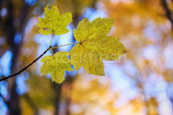 Autumn leaves Stock photo © Fesus