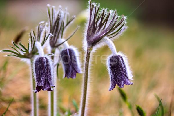Groep Montana voorjaar weide Hongarije Stockfoto © Fesus